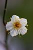 (titanium22) Tags: flower green nature 梅 ウメ prunusmume