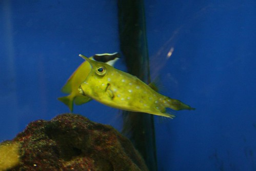 Introducing my new favorite fish - the longhorn cowfish!