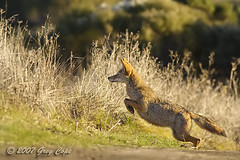 Pounce (copeg) Tags: california coyote grass skyline spring jump jumping greg open action space wildlife hill windy ridge trail palo alto preserve cope canis latrans midpeninsula specanimal animalkingdomelite akimageoftheday copeg