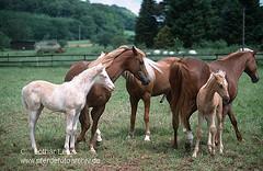 s7-1744 (Lothar Lenz) Tags: horse caballo cheval cavalo pferd hest equus paard copulation hst decken hengst hestur herde kopulation konj hobu zirgs zucht lotharlenz araberberber stutemitfohlen trchtig deckakt decksprung kopulieren trchtigkeit