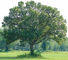 A full White Oak