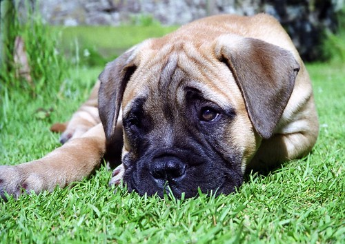Bullmastiff Dog Puppies