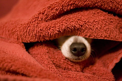 Drying Off (Angela.) Tags: red dog chihuahua digital nose bath raw lulu towel explore chi canonef35mmf2 hiding explored xti 400d canondigitalrebelxti