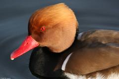 Redeye Redbeak (Andy G Leonard) Tags: 20d birds bigma norfolk rover75 pensthorpe andrewgleonard aglimages