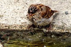 Wet sparrow - nasser Spatz - passer domesticus (rotraud_71) Tags: street bird nature water geotagged sparrow urbannature spatz badreichenhall