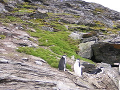 Antarctic: Grass and penguins
