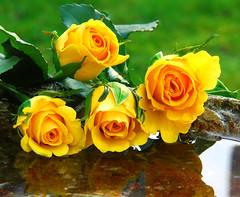 For Albina... (sjnewton) Tags: flowers roses reflection love yellow nikon vivid valentine romance february 2007 albina 18200mmf3556gvr d80 superbmasterpiece