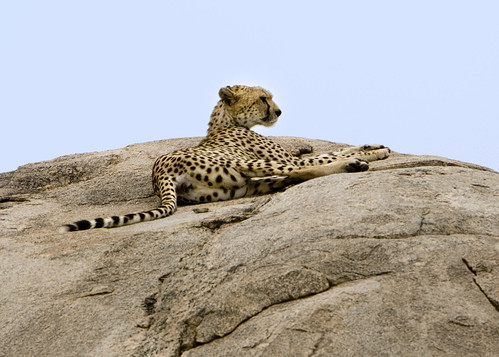 Cheetah Lounging in the Serengeti by DavidDennisPhotos.com.