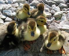Ducklings (www.LKGPhoto.com) Tags: cute nature birds yellow sweet stock ducks fluffy ducklings fowl muscovy babyanimals naturesfinest wwwlkgphotocom