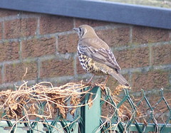 Song Thrush in Southwark Park