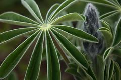 Give me five (Shemer) Tags: macro green nature leaf dof bud lupine  impressedbeauty