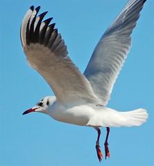 I dream I am flying!! ver 2 (suedot) Tags: white bird d50 wings bravo colours seagull gull nikond50 birdphoto outstandingshots specanimal irresistiblebeauty suedot