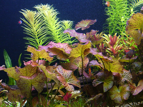 fish tank plants. Aquarium Plants