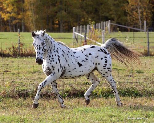 Appaloosa Trot by myhorse.