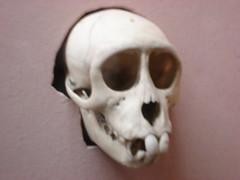 Small ape skull (luke@london) Tags: skull ape hornimanmuseum