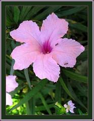 Ruellia Brittoniana 'Bonita' or 'Katie Pink' (Dwarf Pink Ruellia)