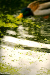 The Duck and I (Moayad Hassan) Tags: uk lake reflection green water garden botanical duck birmingham turbulence moayadhassan muayadhussain