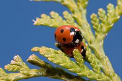 Love is in the air! (Anieteke) Tags: red macro green love topv111 insect ilovenature spring topv444 ladybird ladybug loveisintheair naturesfinest bugpr0n anawesomeshot holidaysvacanzeurlaub