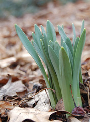 Emerging bulbs (wishymom (Stephanie Wallace Photography)) Tags: new flowers green spring growth bulbs emerging daffodils thechallengegame challengegamewinner pfogold