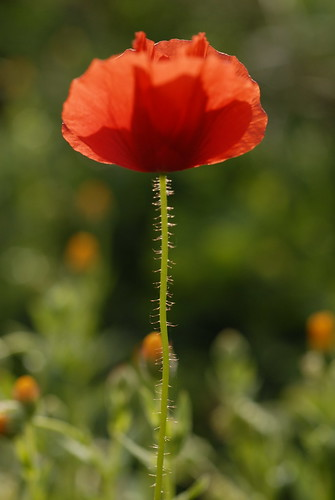 The first poppy of the season