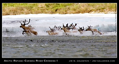 Arctic Refuge: Caribou River Crossing I (jimgoldstein) Tags: podcast water digital river photography photo crossing wildlife arctic adventure migration caribou herd porcupine rapid current anwr naturesfinest arcticrefuge parkstock arcticnationalwildliferefuge kongakut rangifertarandus specnature aufeis abigfave jmggalleries superaplus aplusphoto jimmgoldstein exifandbeyond