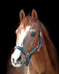 Retired Arabian Barrel Racer (satire trouble) Tags: horses beautiful arabian specanimals