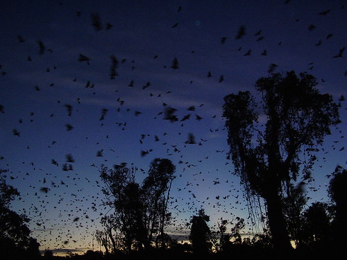Bats heading east at sunset by Pip_Wilson