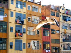 La Gavina (ToniVC) Tags: houses bird canon river flying spain bravo europe action seagull gull facades girona powershot catch catalunya capture panning gaviota pjaro gavina onyar naturesfinest ocell blueribbonwinner supershot instantfave outstandingshots a640 superbmasterpiece tonivc