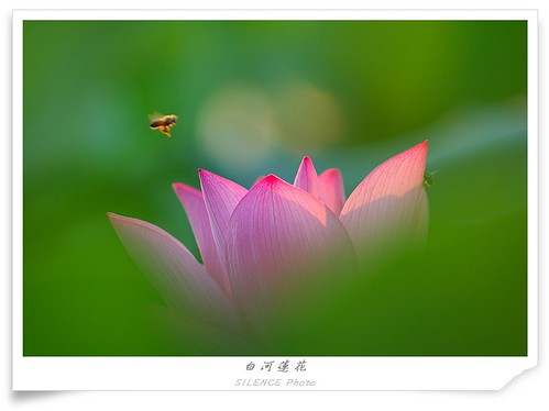 bee & lotus