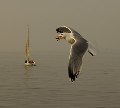 snack (lightyear105) Tags: bird nature birds lunch boat searchthebest seagull snack prey bait av ku sailingboat tekne mart calmsea kular yelkenli littlestories supershot abigfave anawesomeshot colorphotoaward ultimateshot avianexcellence diamondclassphotographer flickrdiamond megashot lightyear105 picswithsoul