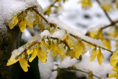 Forsythia in snow I