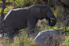 African elephant (Arno Meintjes Wildlife) Tags: africa wallpaper elephant nature animal bush wildlife ivory safari elephants rsa krugernationalpark krugerpark africanelephant knp loxodontaafricana parkstock supershot africanbushelephant anawesomeshot arnomeintjes