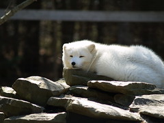 Artic Fox Dozing