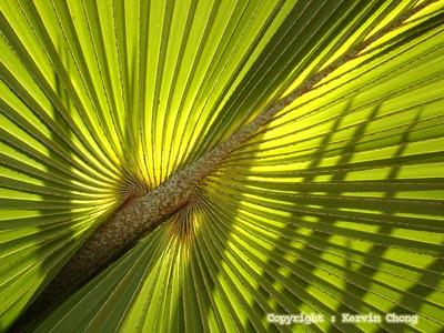 Palm-shadow