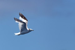 Sabine's gull (johanvrensburg) Tags: southafricanbird pelagic 5d capetown