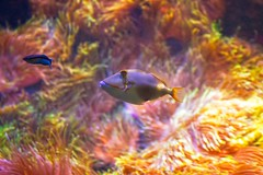 Blackbelly Triggerfish Swimming In The Corals (k009034) Tags: 500px zoo baltic countries copy space estonia rhinecanthus verrucosus tallinn tranquil scene animal blackbelly triggerfish coral fish nature no people swimming travel destinations underwater water teamcanon