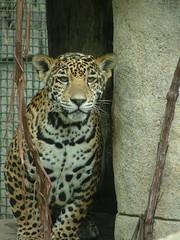 New female jaguar
