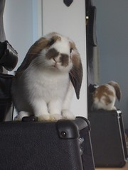 Mochi in front of mirror (Romy87) Tags: cute bunny bunnies animal mirror mochi kaninchen hasen
