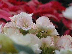 Winter Flowering Begonia