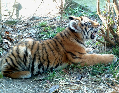 Baby Tiger Chewing a Bush by rj-photo.
