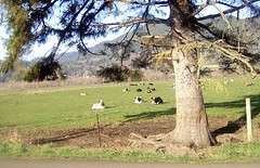 Really happy cows lazing on a December day