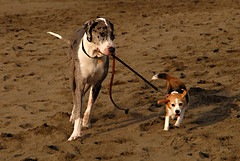 Great Dane taking a beagle for a walk