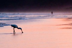 Royal Spoonbill (Two Big Paws) Tags: sunset bird 20d beach water canon wildlife royal australia newsouthwales byronbay spoonbill platalearegia suffolkpark