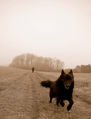 just before the impact (serni) Tags: mist silhouette sepia forest jump bravo 500v20f cristina hill horizont iluvmydog serni sernithedog dutchshepherddog codesheepdog corduneanu cristinacorduneanu