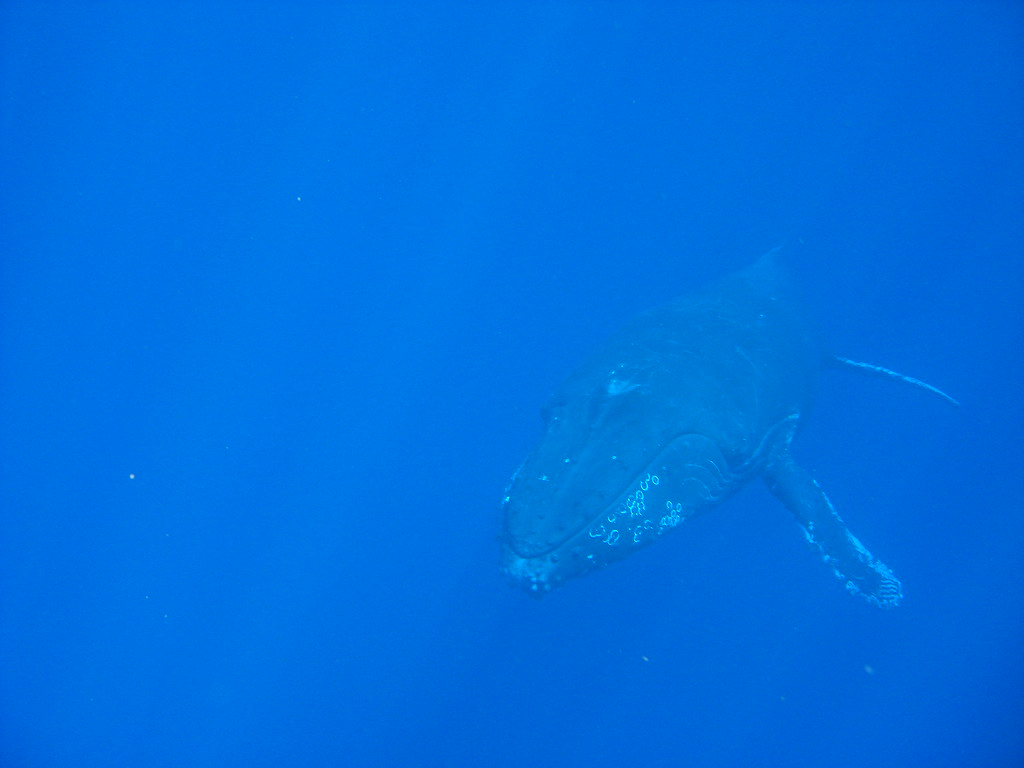 Full Body Shot of Underwater Whale in Pacific Ocean ... Pacific Ocean Underwater Animals