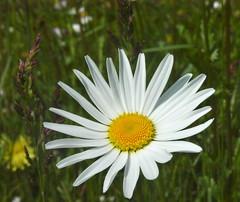 White Daisy (Kirsten M Lentoft) Tags: white flower closeup daisy momse2600 kirstenmlentoft