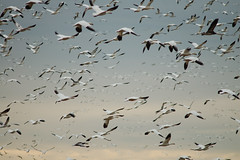 03 Snow Geese Layers (Holdsfast) Tags: maryland waterfowl snowgeese dorchestercounty