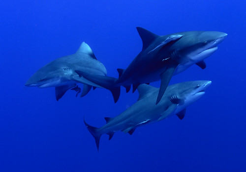Bull Sharks in Mozambique