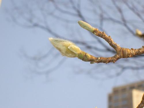 もう、春はそこまで来ているのよ。ハクモクレンが春遠からじと教えてくれるの