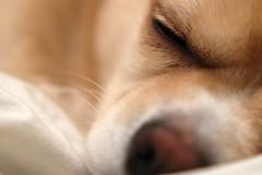 Bausch Closeup (takuhitofujita) Tags: dog pet chihuahua closeuplens bausch d80 af85f18 nikond80